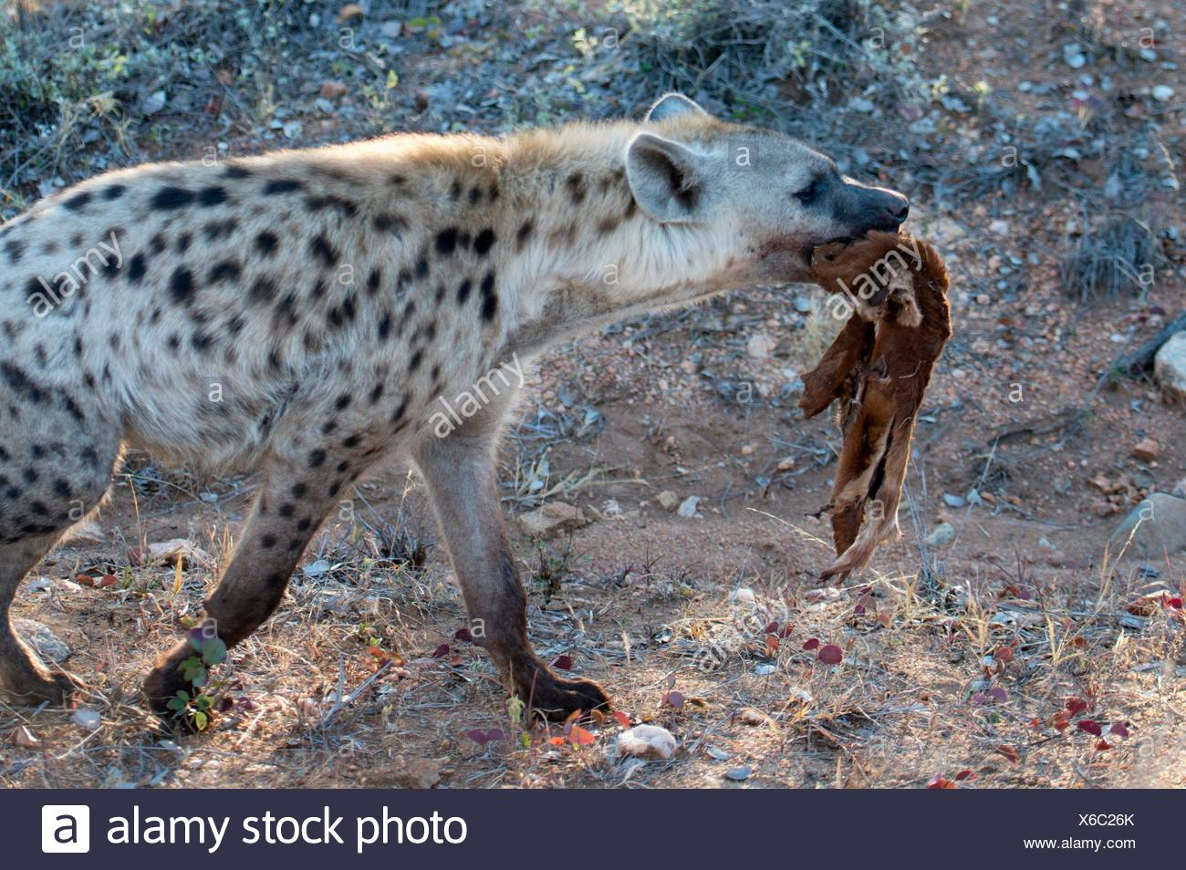 Spotted Hyena (Crocuta crocuta) aka Laughing Hyena with skin of antelope, Kruger National Park, Transvaal, South Africa. - Stock Image