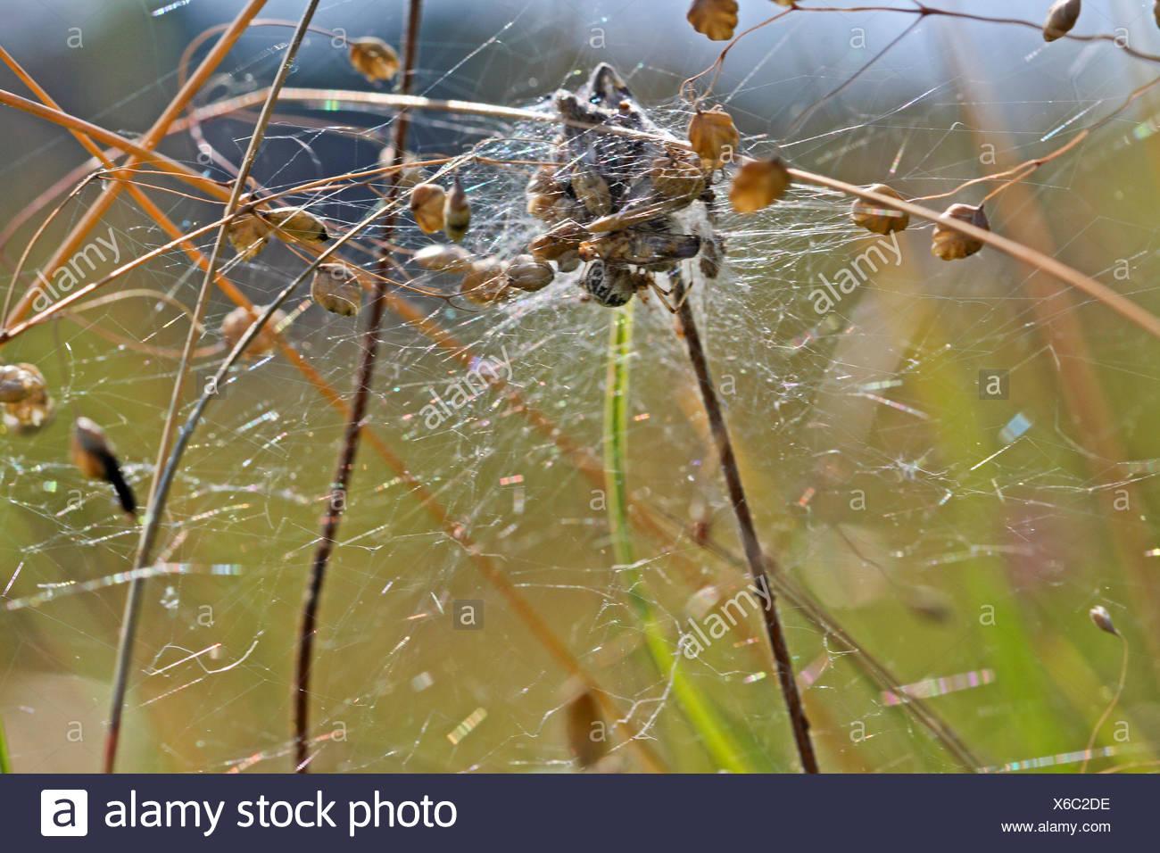 Braune Kugelspinne, Braunweisse Kugelspinne (Theridion impressum, Phylloneta impressa), Netz im Zittergras, Deutschland | Comb-f - Stock Image