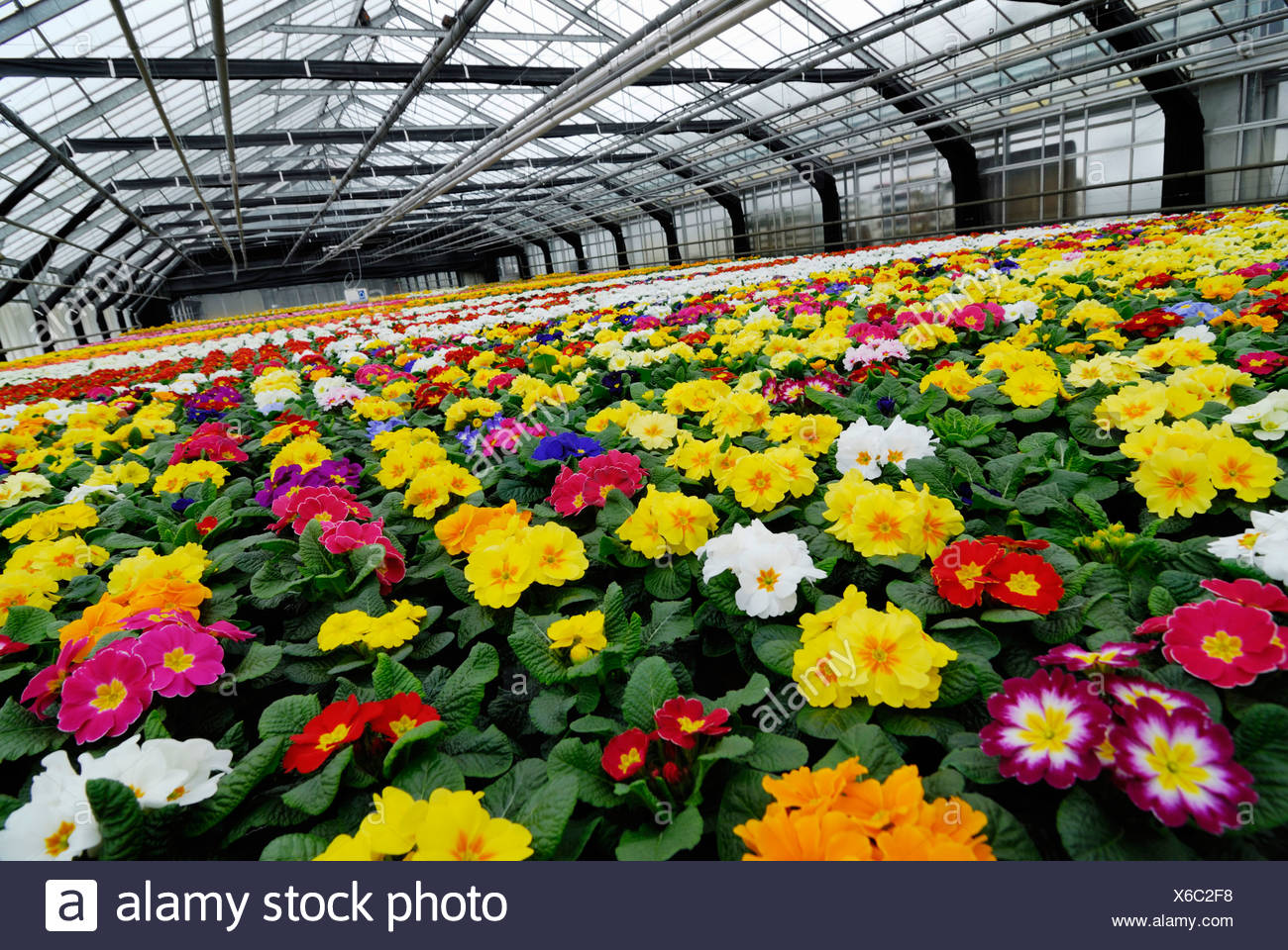 Colorful primroses in a greenhouse - Stock Image