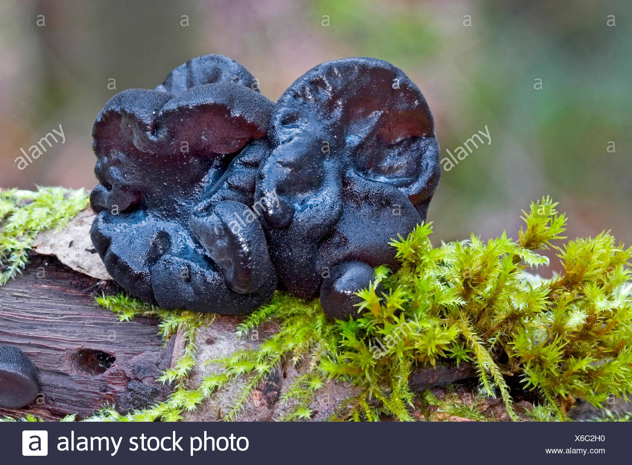 Witches' butter, Black witches' butter, Black jelly roll, Warty jelly fungus (Exidia glandulosa, Exidia truncata), fruiting body on mossy deadwood, Germany - Stock Image