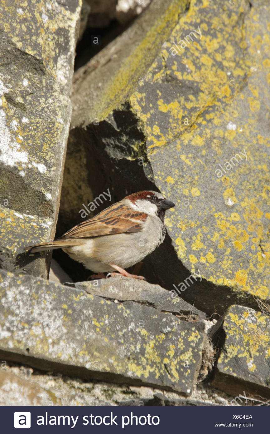 House sparrows nest stock photos house sparrows nest stock images house sparrow passer domesticus male by nest site in stone wall inverness shire highland uk thecheapjerseys Gallery