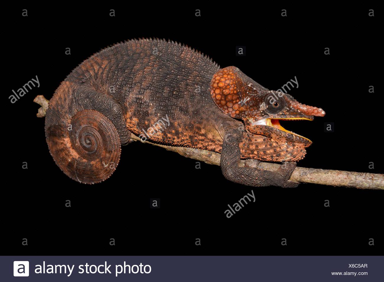 Male short-horned chameleon (Calumma brevicornis), rainforest of Andasibe, Andasibe-Mantadia-National Park, eastern Madagascar - Stock Image