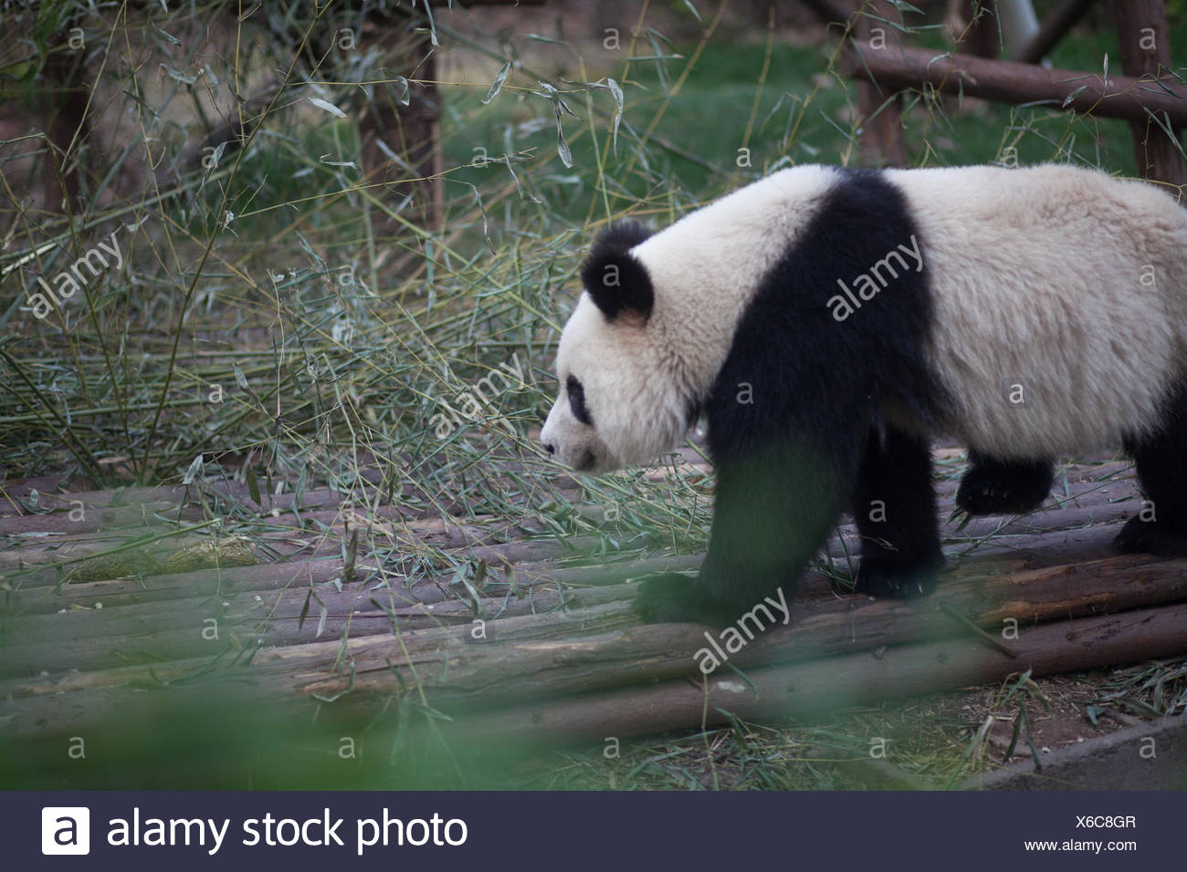 Side View Of A Panda Walking Stock Photo