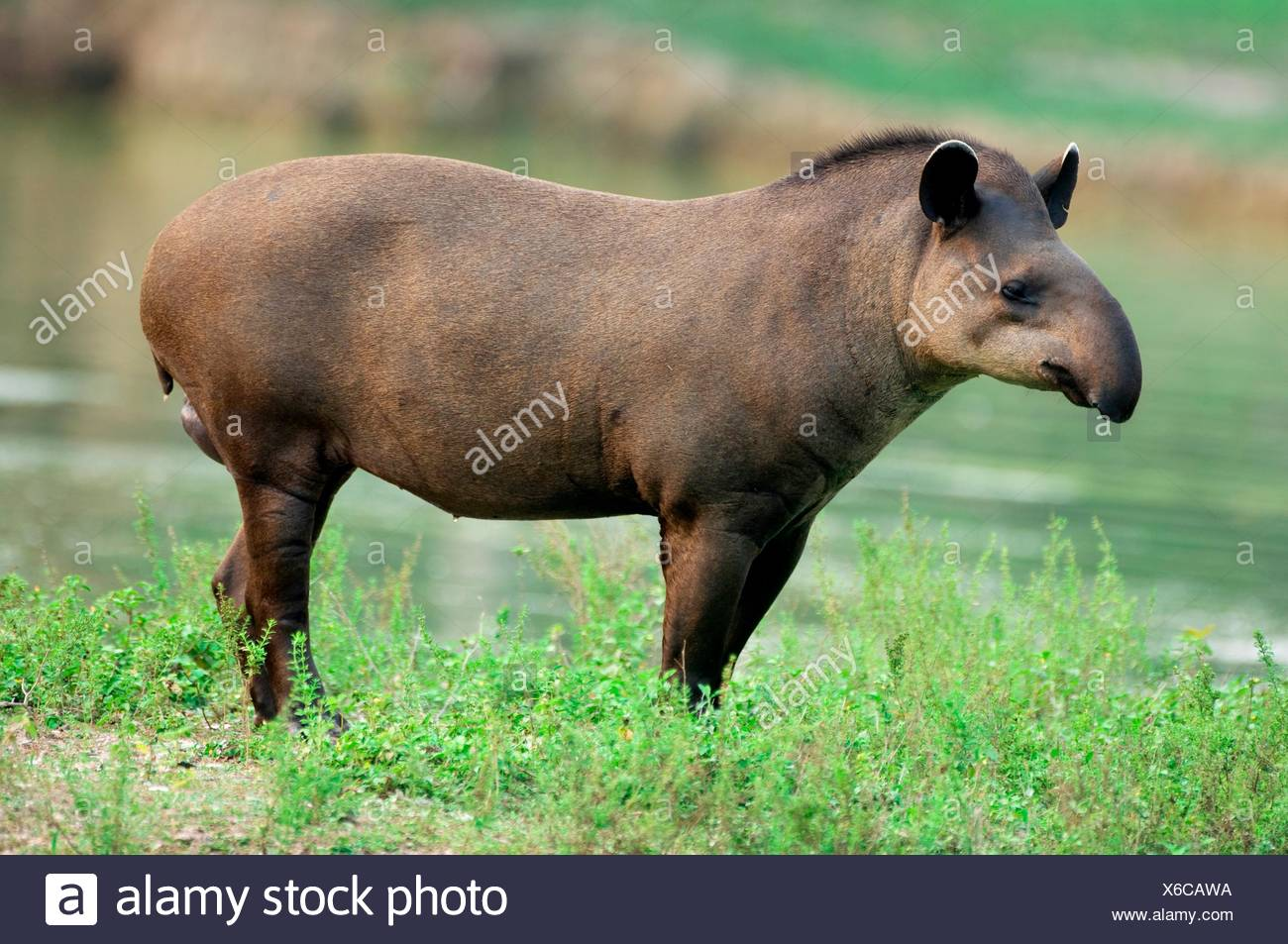 Brazilian Tapir or Lowland Tapir, Tapirus terrestris, Tapiridae family, Perissodactyla order, Pantanal, Mato Grosso, Brazil - Stock Image