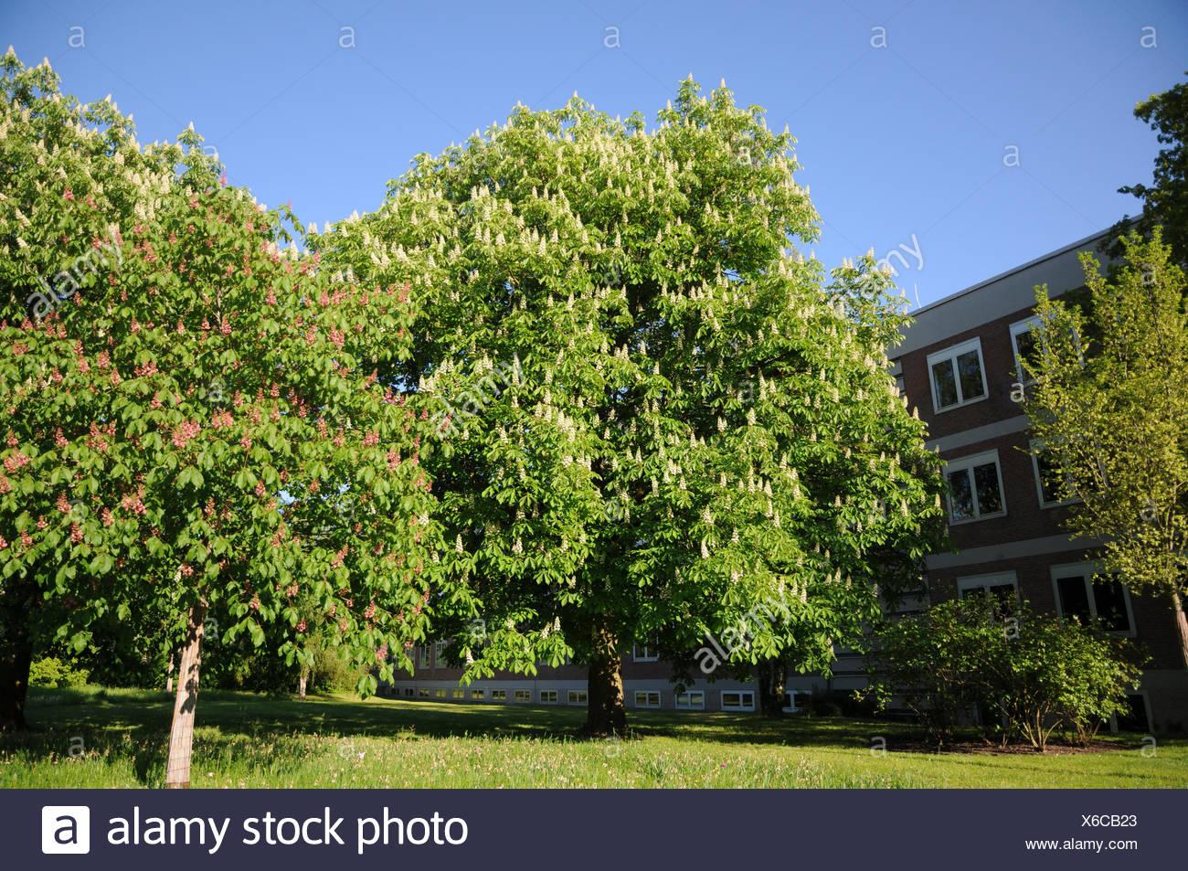 Aesculus hippocastanum, Horse chestnut Stock Photo