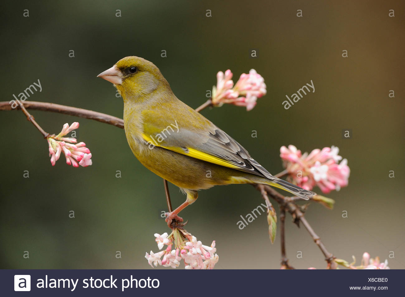 Male Greenfinch perched on branch with pink flowers - Stock Image
