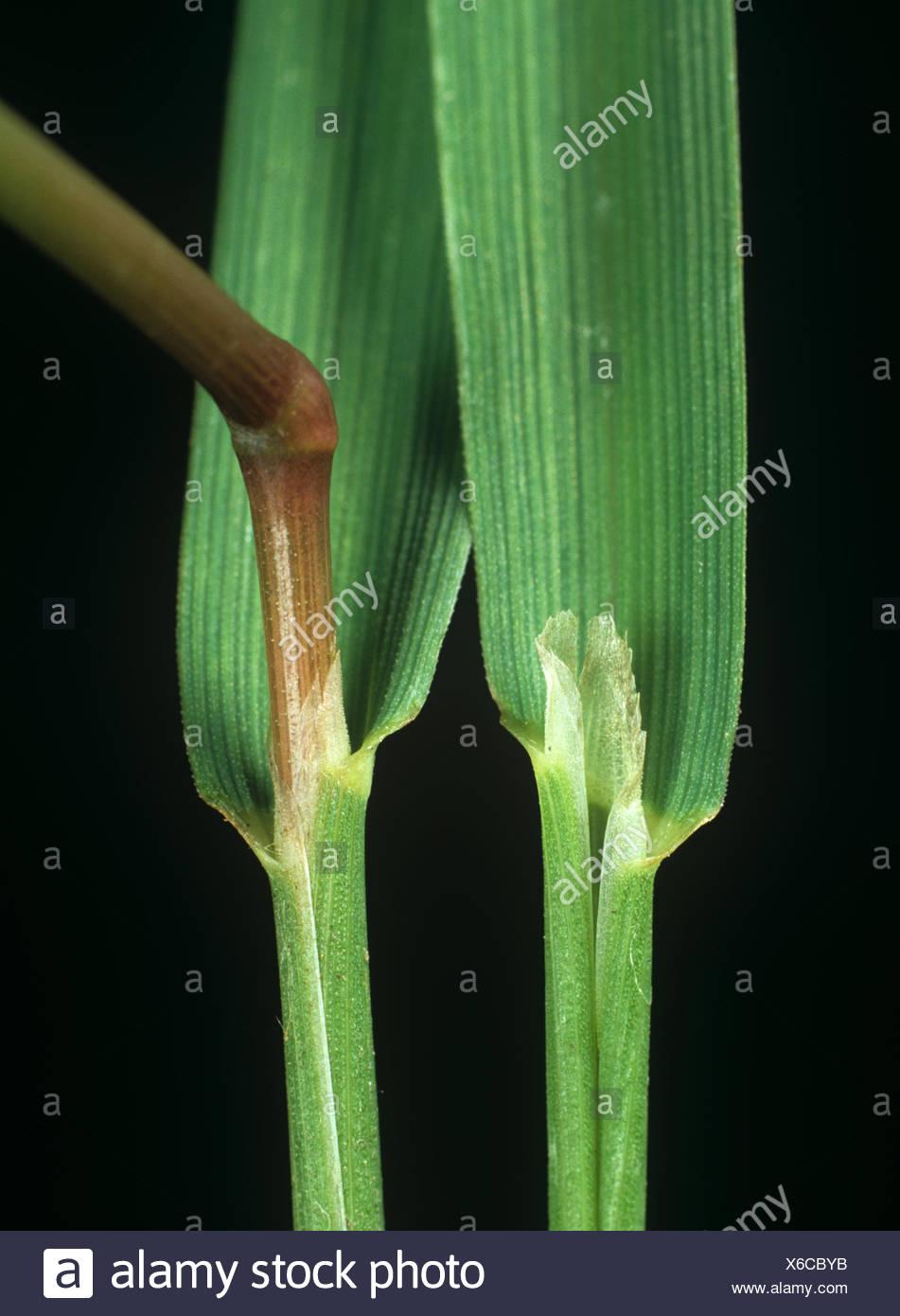 Black bent or redtop, Agrostis gigantea, leaf ligule at the node and leafstalk of an agricultural grass weed - Stock Image