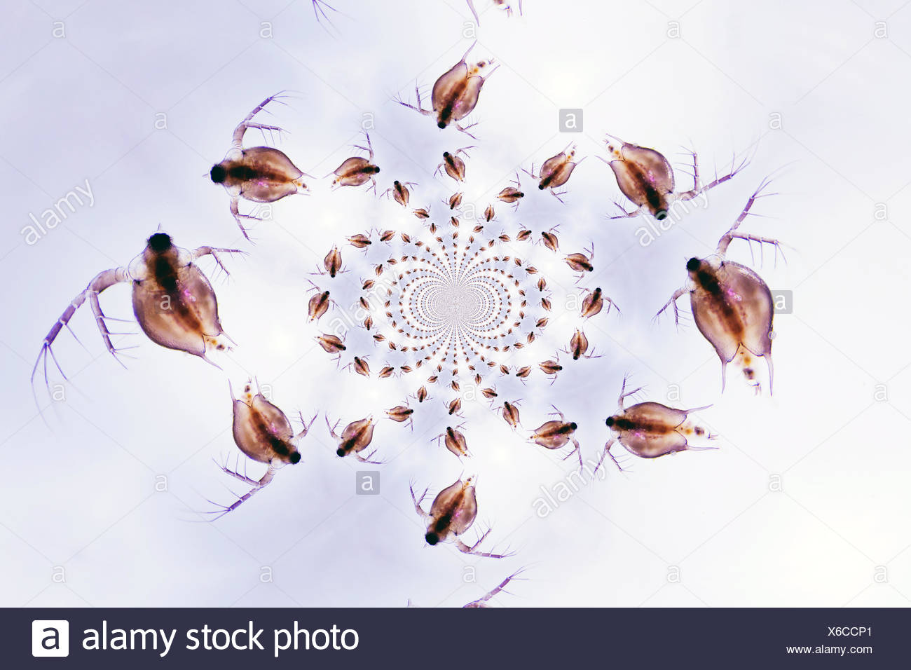 Daphnia Stock Photo