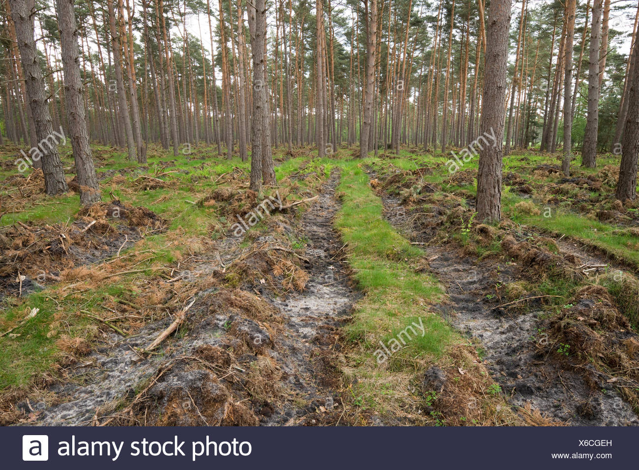 Soil preparation for natural regeneration, exposing the mineral soil in a pine forest, Pines (Pinus sylvestris), Lower Saxony - Stock Image