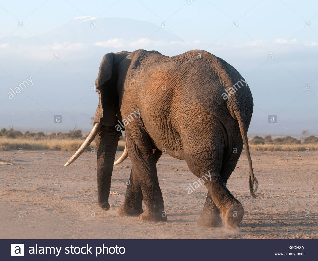 Rear of mature male Elephant with good tusks walking away in Amboseli National Park Kenya East Africa - Stock Image