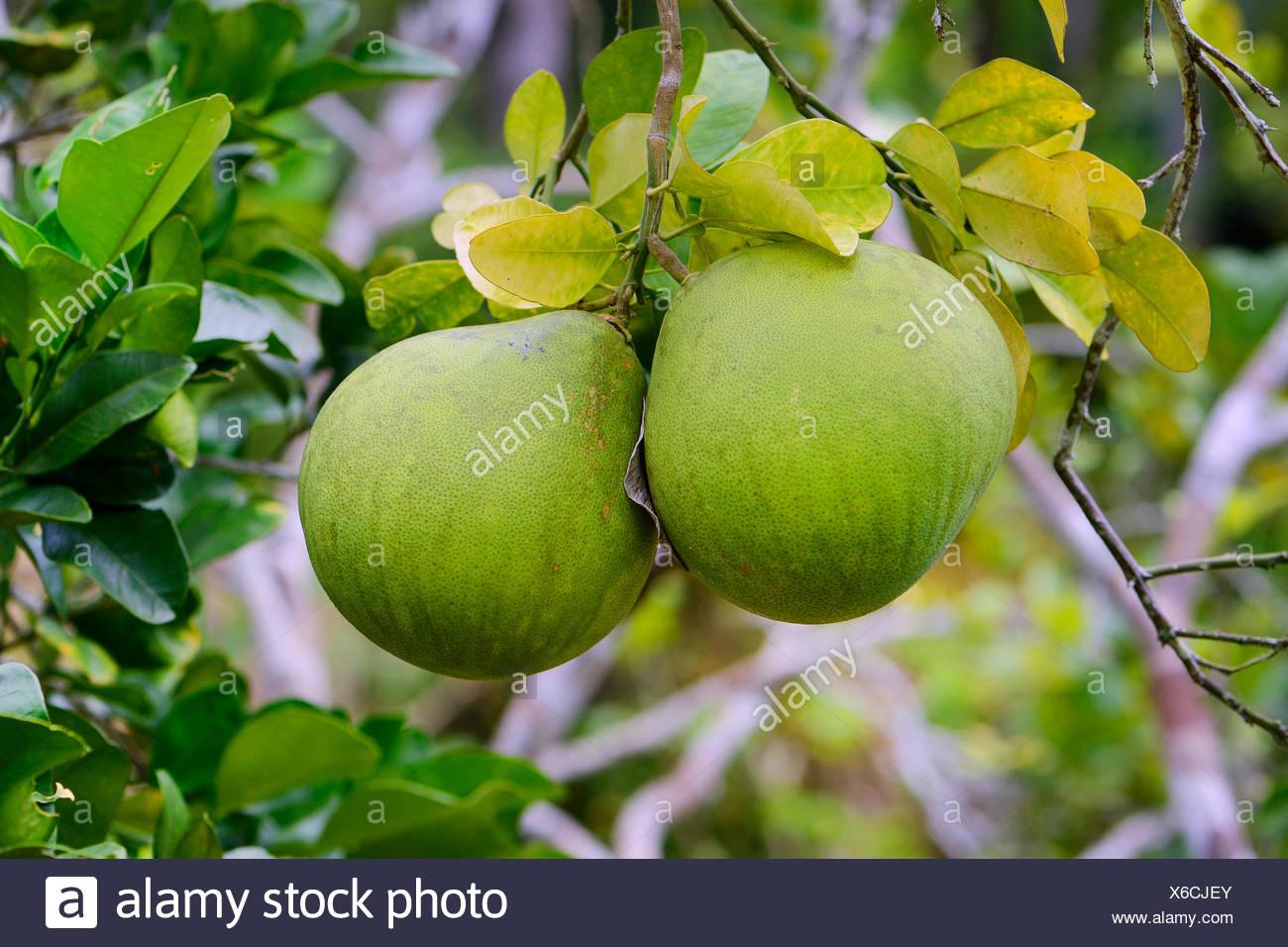 Lieblings Pomelo (Citrus grandis, Citrus maxima), Pomelos am Baum @IL_01