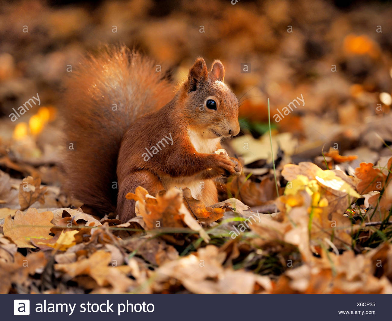 European red squirrel, Eurasian red squirrel (Sciurus vulgaris), sitting on autumn foliage and eating, Germany, Saxony - Stock Image