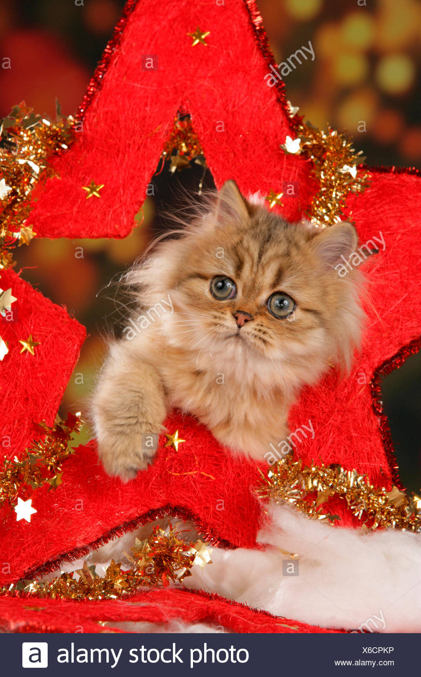 Persian Cat Kitten big red star (Christmas decoration) - Stock Image