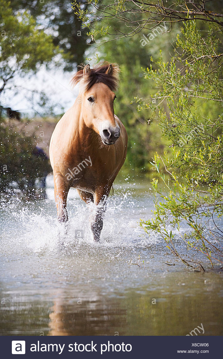 brown horse in water - Stock Image