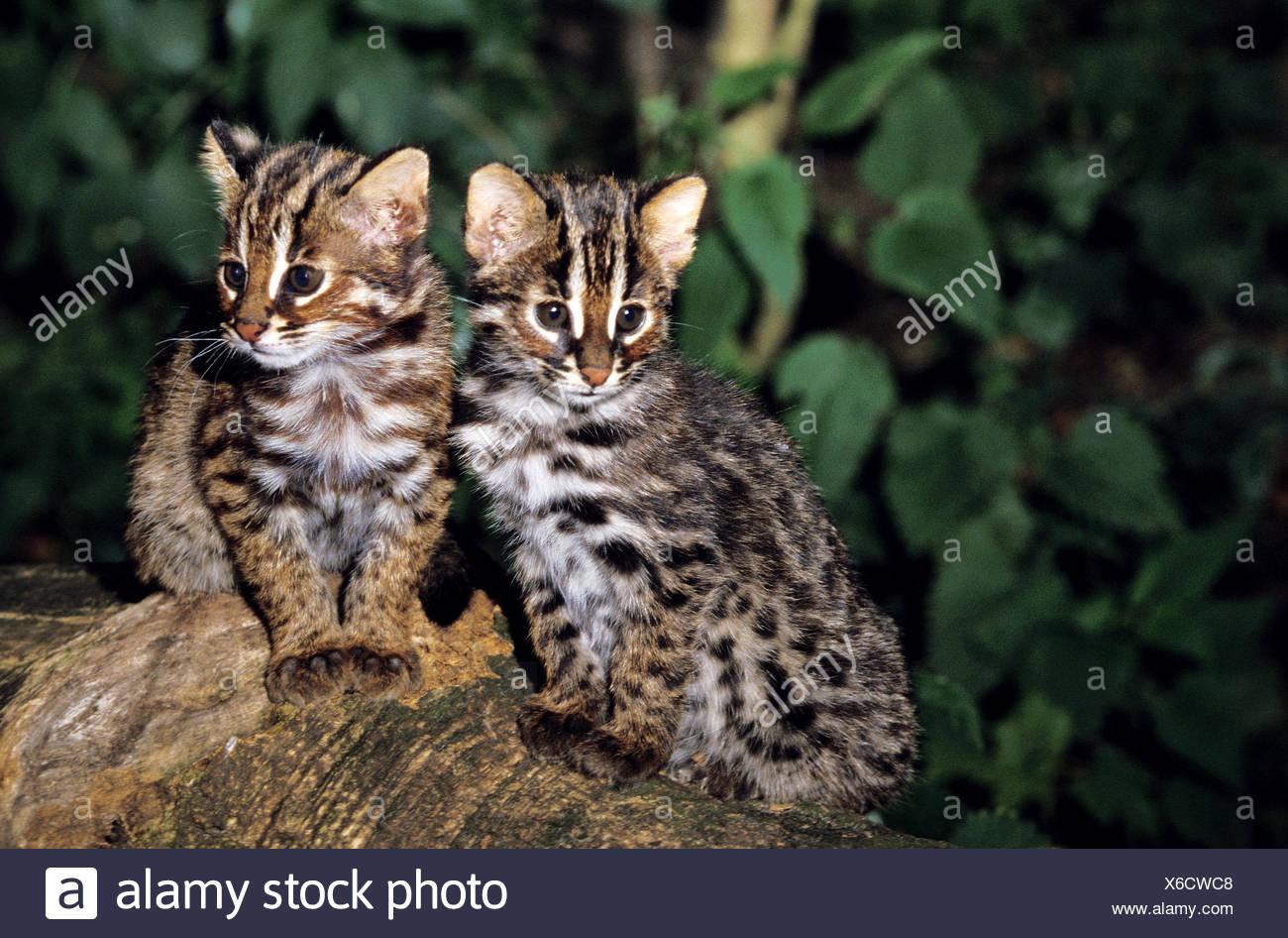 cost of siberian cat
