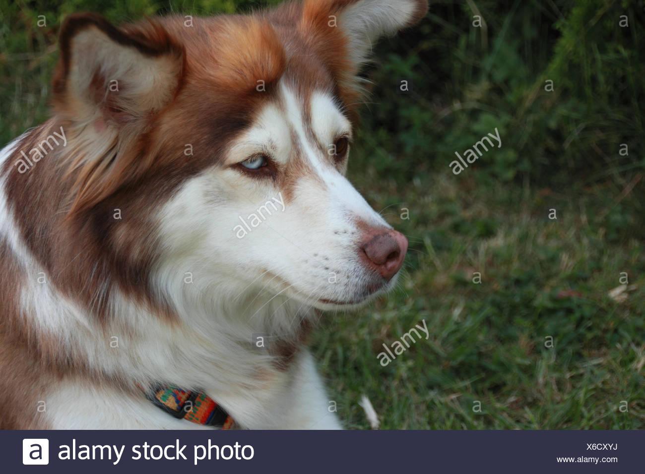 animal, pet, dog, zoology, animal, pet, dog, biology, zoology, husky, canis - Stock Image
