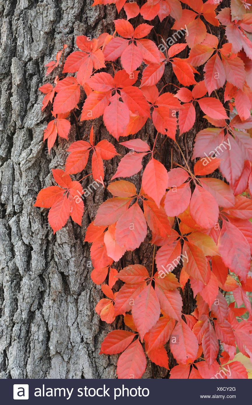 Virginia creeper (Parthenocissus quinquefolia), climbing on Live Oak (Quercus virginiana) with fall colors, Kerrville, Texas - Stock Image