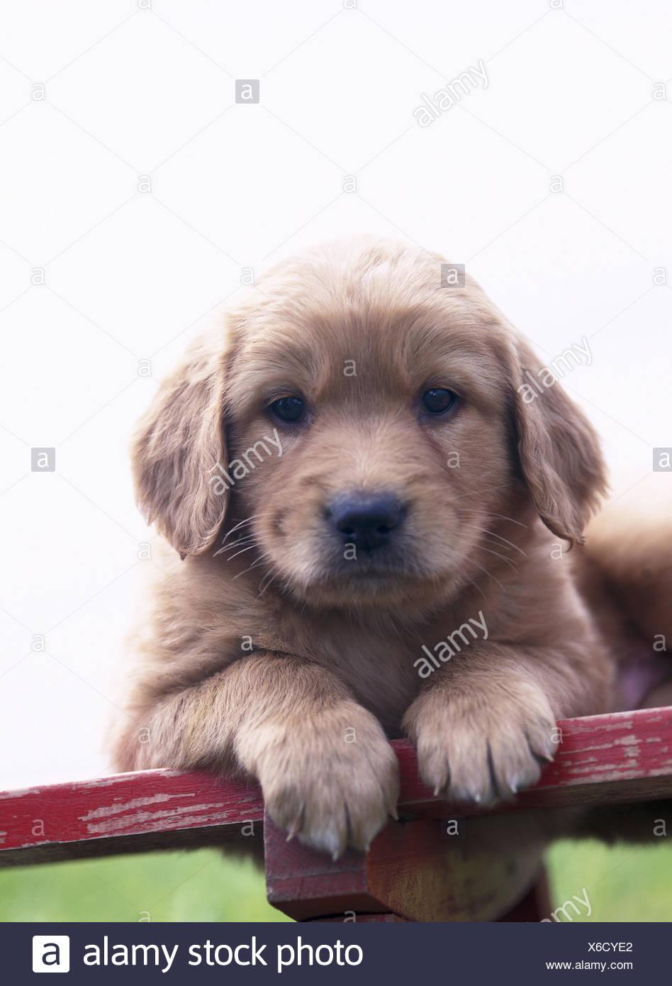 Wooden Bank Hovawart Hybrids Puppy Leigen Portrait Animal