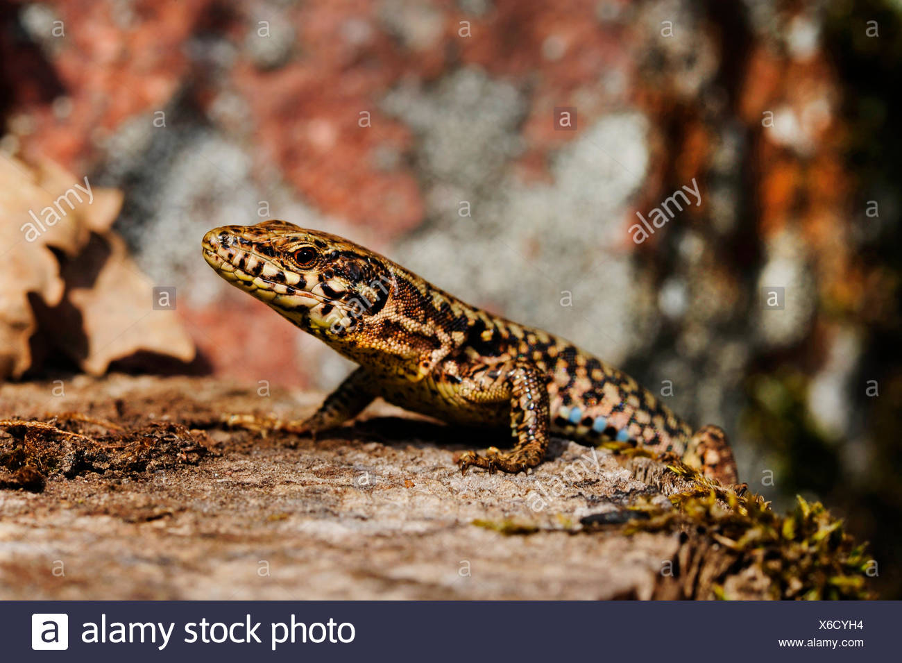 common wall lizard (Lacerta muralis, Podarcis muralis), on a tree snag, side view, Germany, Baden-Wuerttemberg, Black Forest Stock Photo