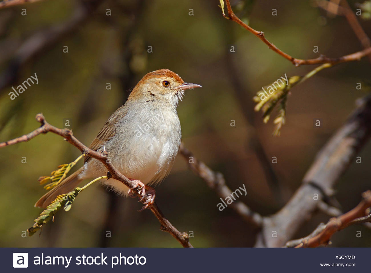 Piping cisticola (Cisticola fulvicapilla), sitting in a bush, South Africa, North West Province - Stock Image