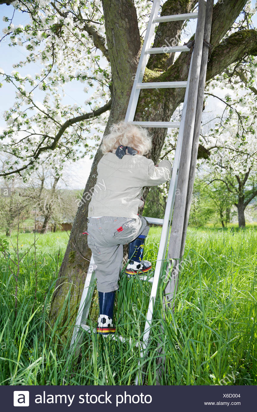 Boy, 3, climbing up a ladder to a blossoming fruit tree - Stock Image