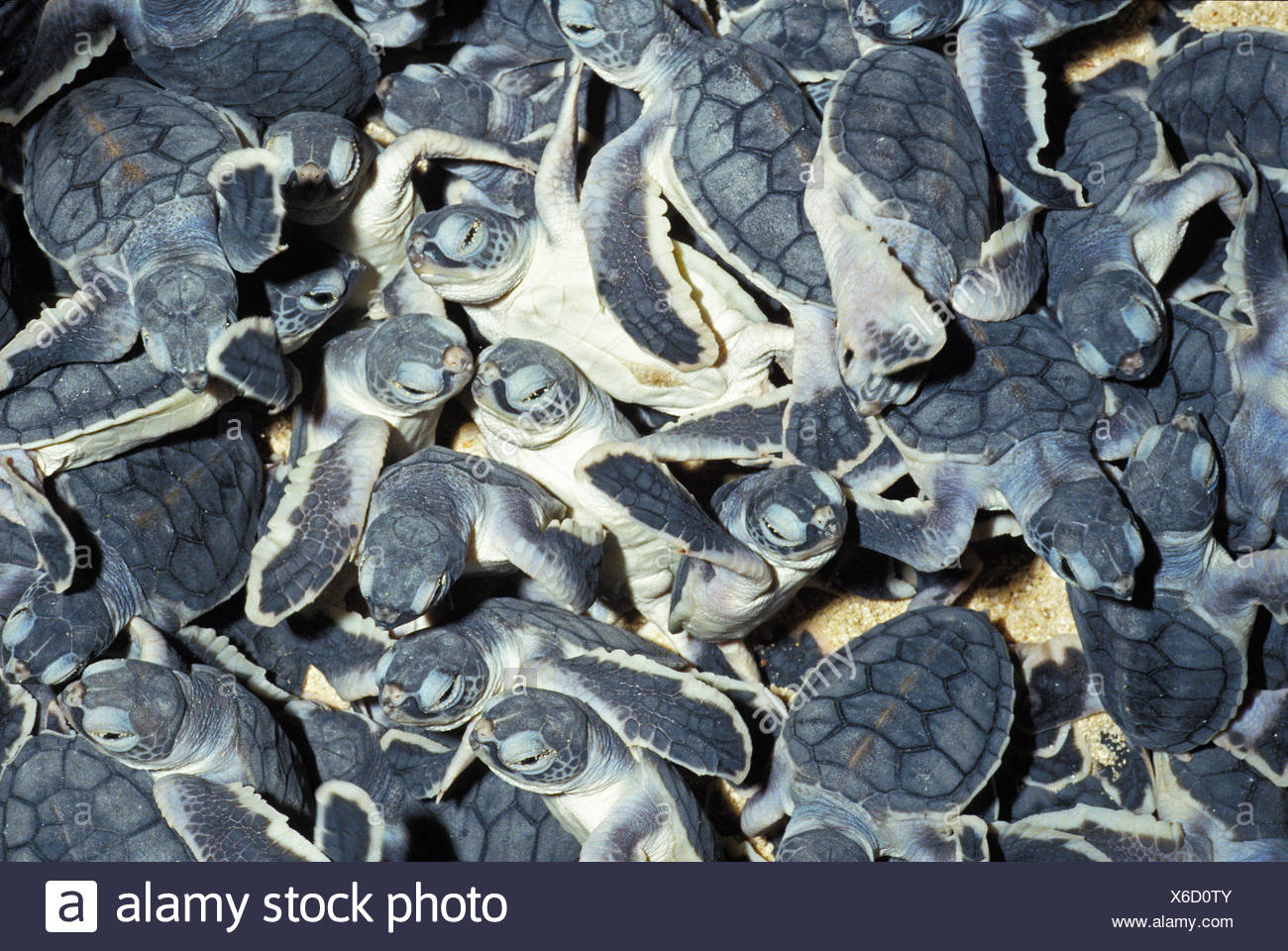 GREEN SEA TURTLE chelonia mydas, BABIES IN HATCHERY, MALAISIA - Stock Image