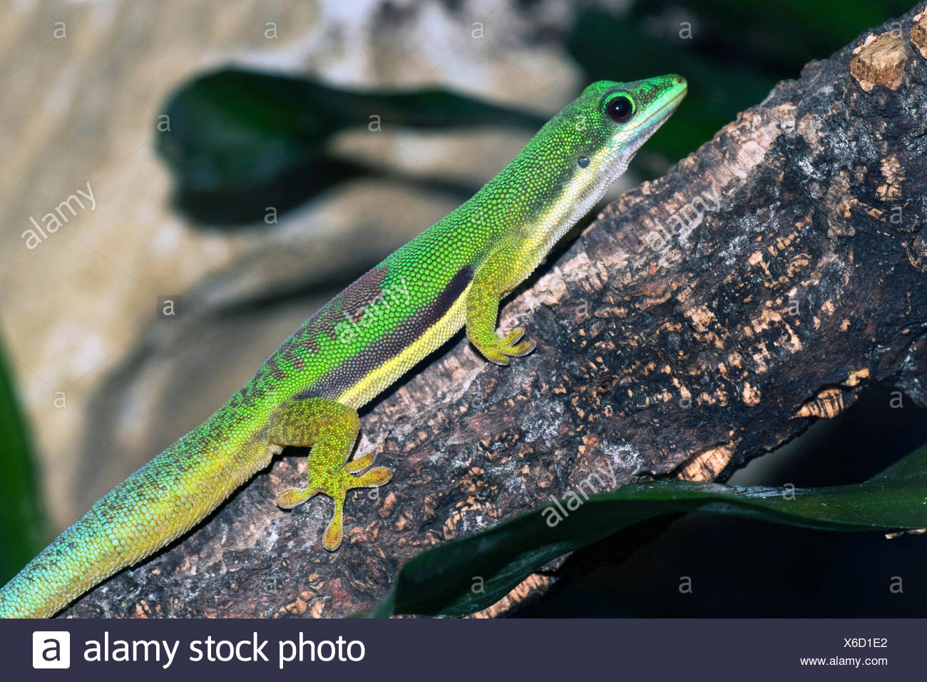 lined day gecko (Phelsuma lineata), on a twig - Stock Image