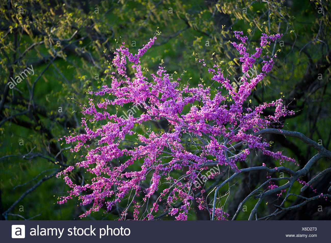 An eastern redbud tree along the Steamboat Trace trail. - Stock Image