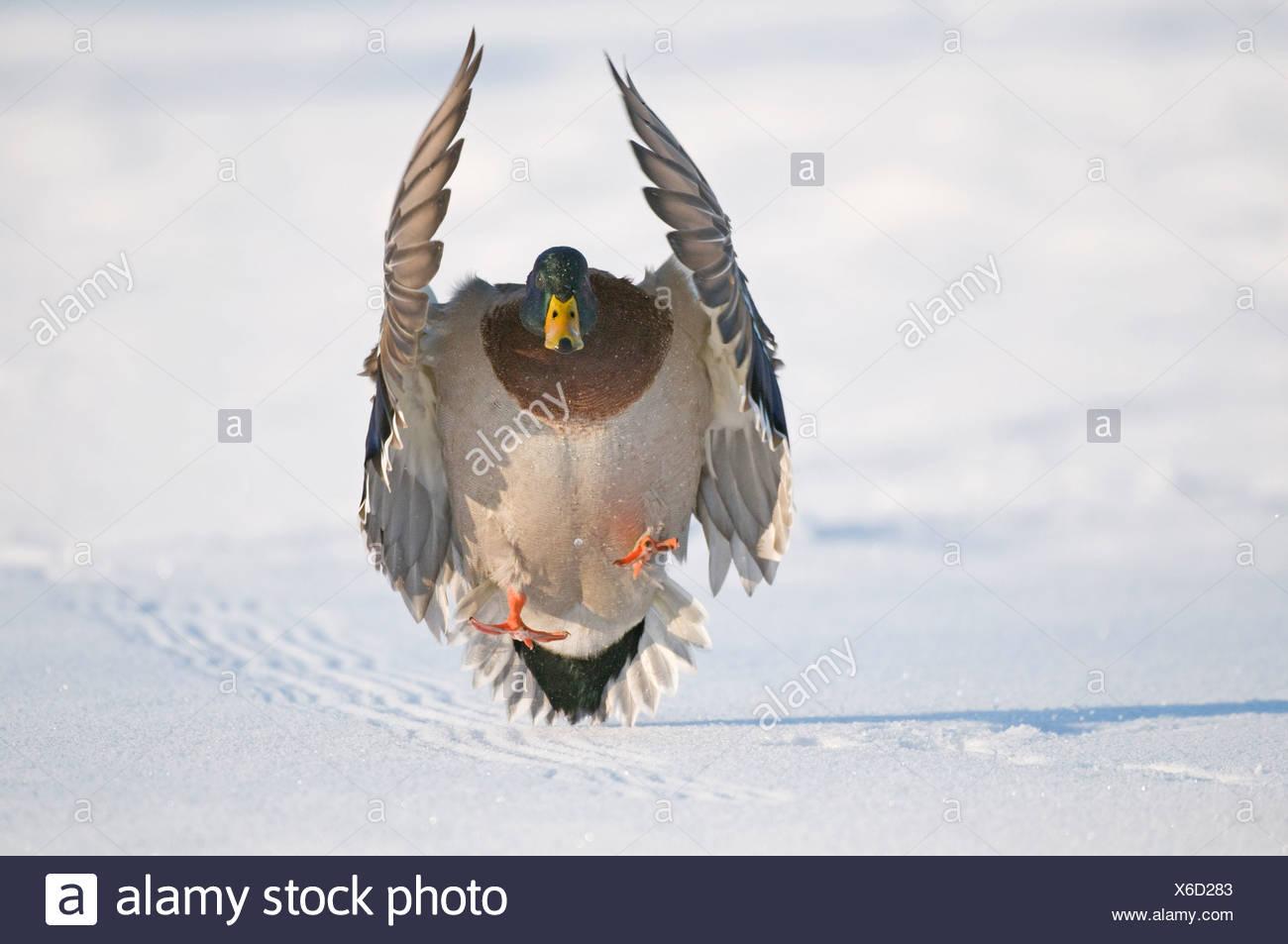 Mallard drake with wings extended lands in snow near Chena River, Fairbanks, Interior Alaska, Winter, Digitally Altered Stock Photo
