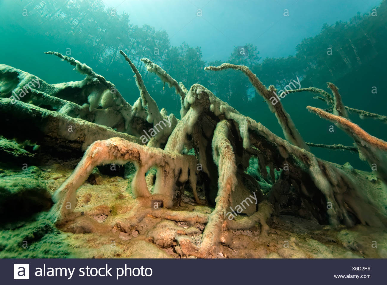Roots with Slime Algae, total internal reflection, trees, underwater landscape, Fernsteinsee Lake, Tyrol, Austria - Stock Image
