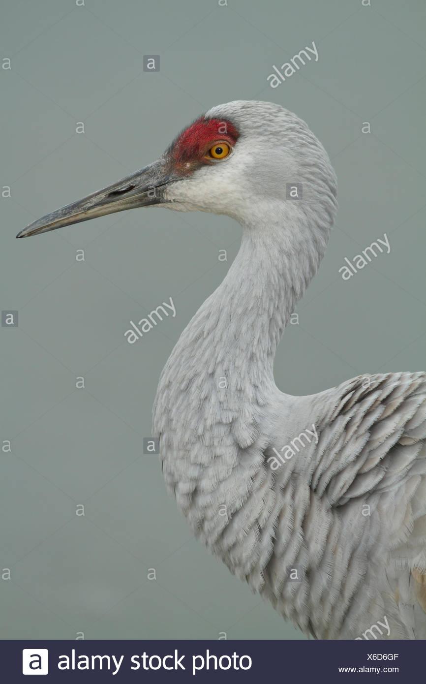 Sandhill Crane, Grus canadensis, Reiffel Bird Sanctuary, Vancouver, BC, Canada - Stock Image