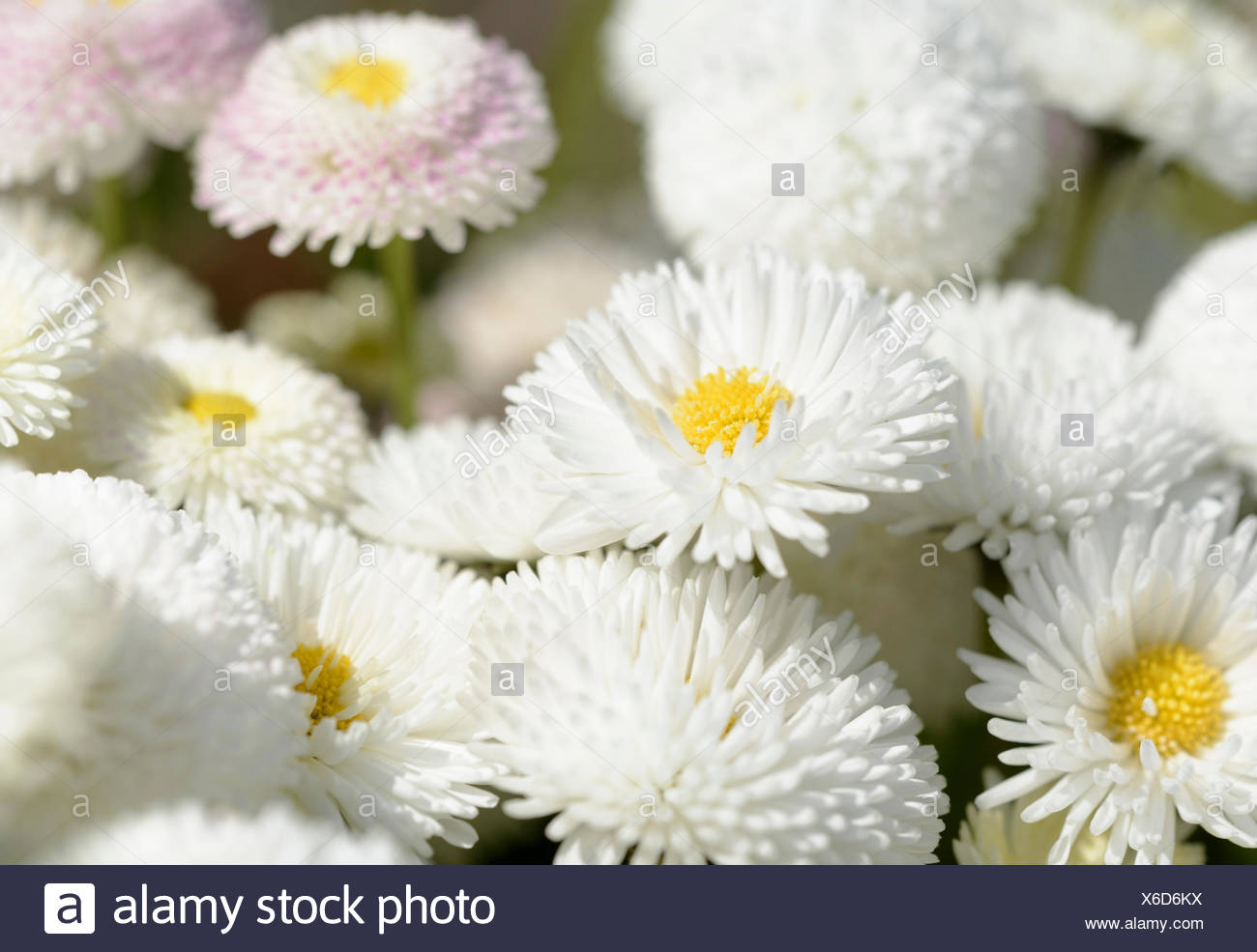 Daisy double daisy bellis perennis stock photos daisy double daisy daisy double daisy bellis perennis white flowers growing outdoor in a garden izmirmasajfo Image collections