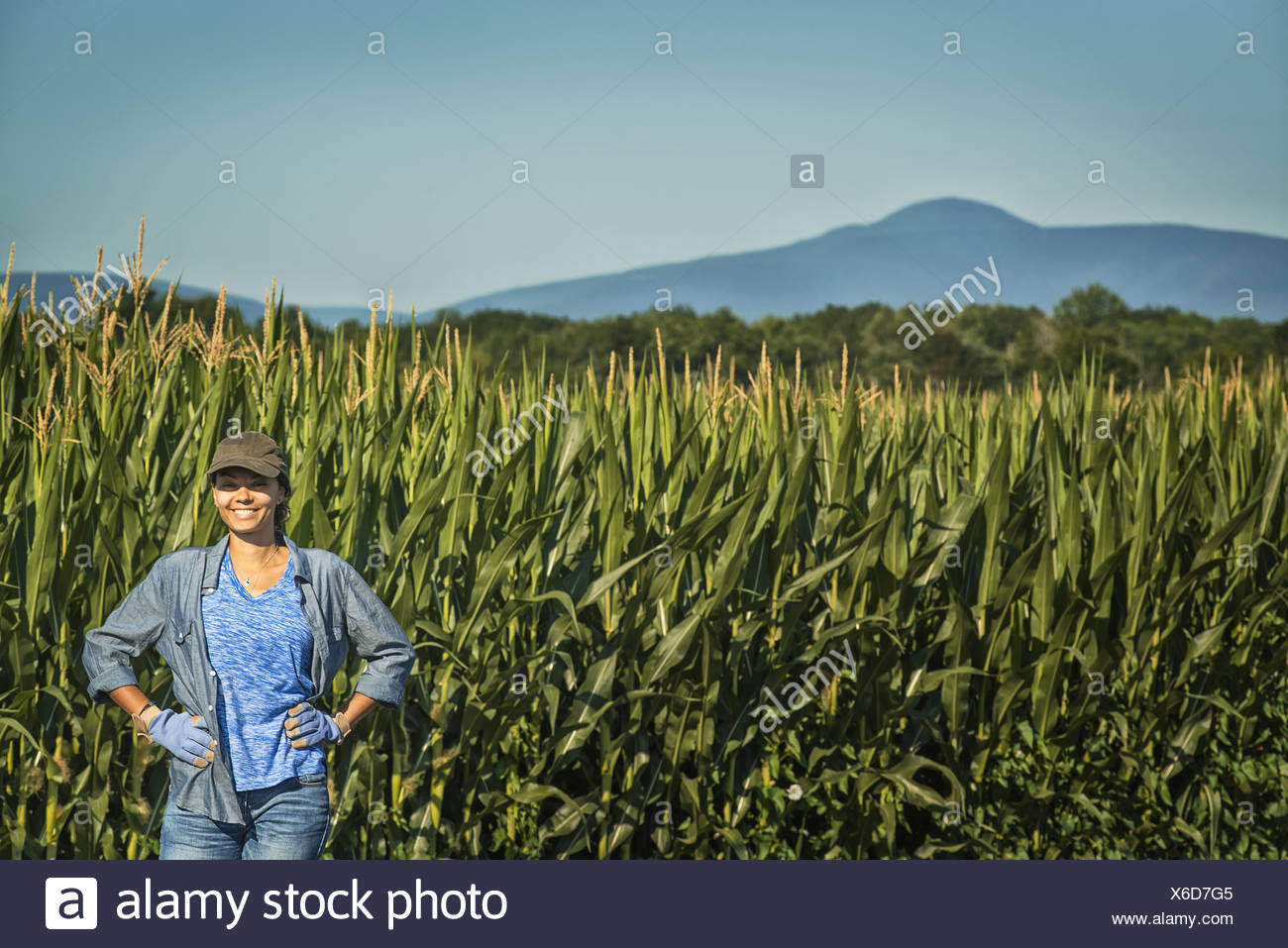 New York state USA field of tall maize plants towering over woman - Stock Image