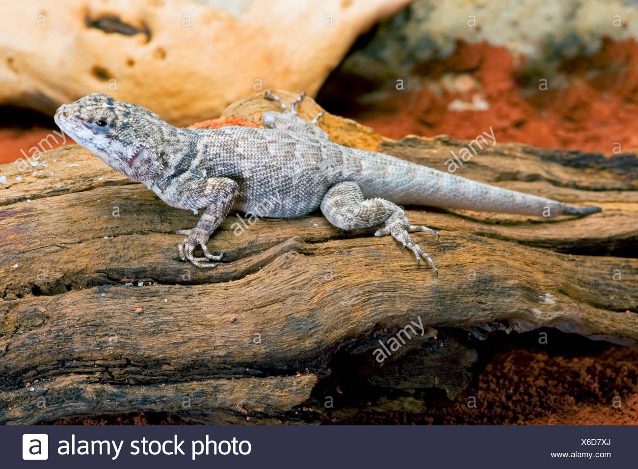 Amazon Lava Lizard (Tropidurus torquatus), sitting on deadwood - Stock Image