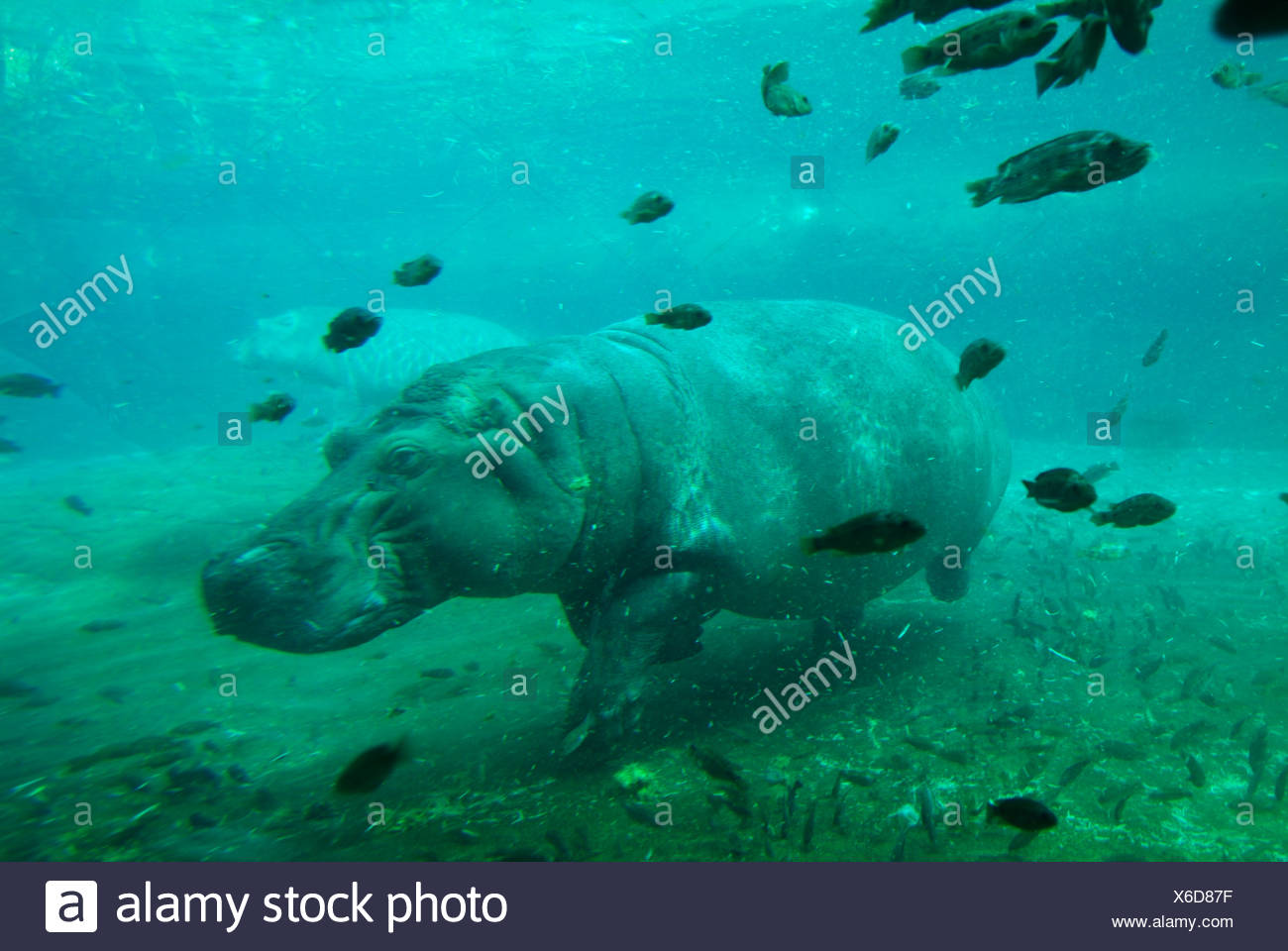 Hippo underwater swimming captive - Stock Image