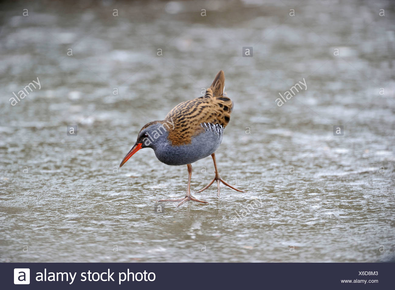 Water Rail (Rallus aquaticus) male feding on icy pool Slimbridge winter - Stock Image