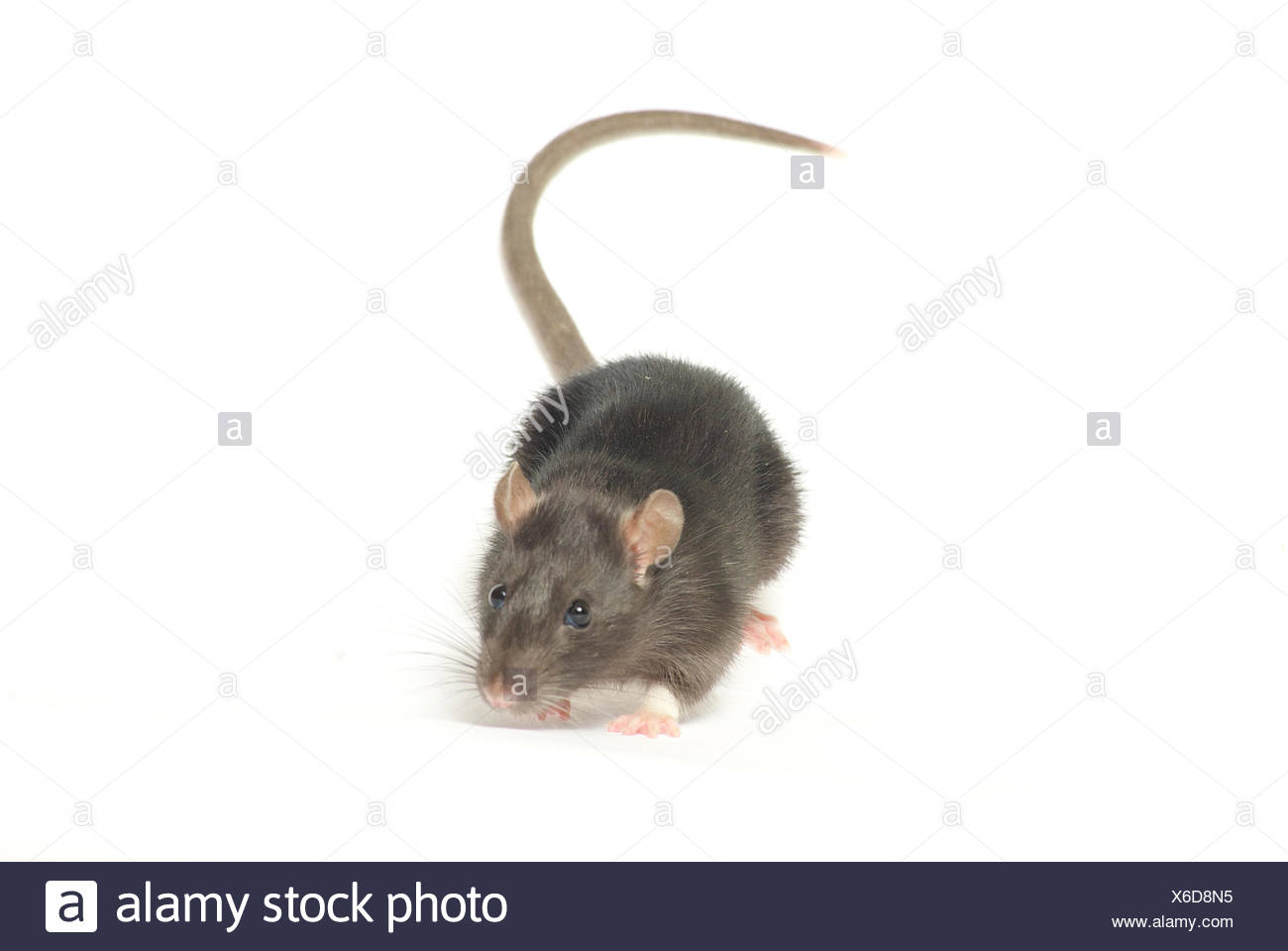 Rodent hairy tail grey