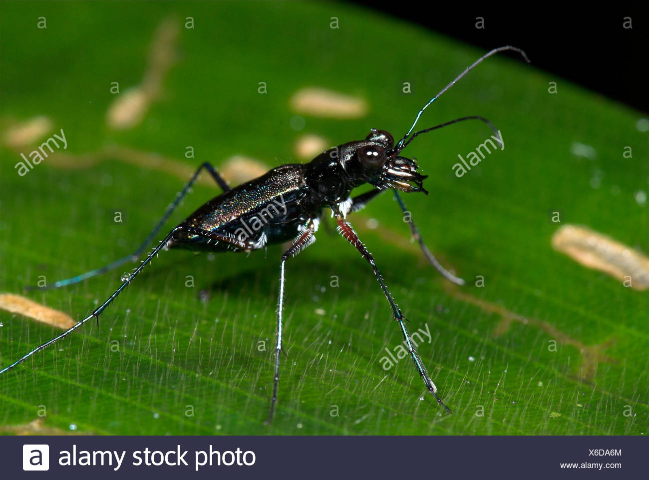 Tiger Beetle Subfamily Cicindelinae Costa Rica Stock Photo