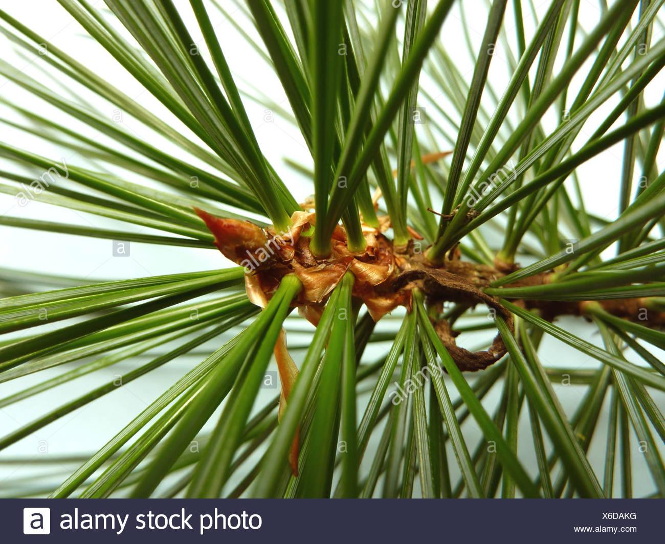 Korean pine (Pinus koraiensis), branch with needles Stock Photo