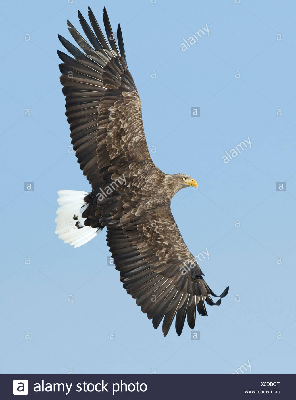 White tailed Eagle Sea Eagle Haliaeetus albicilla Norway Stock Photo