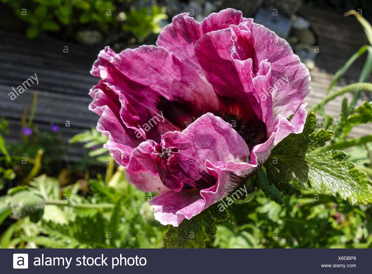 Blüte Einer Mohnblume Im Garten Türkenmohn Papaver Orientale