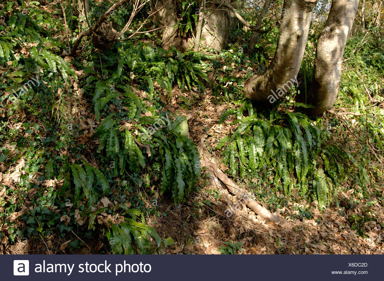 Large harts tongue ferns Asplenium scolopendrium in steeply sloping Devon woodland in autumn - Stock Image