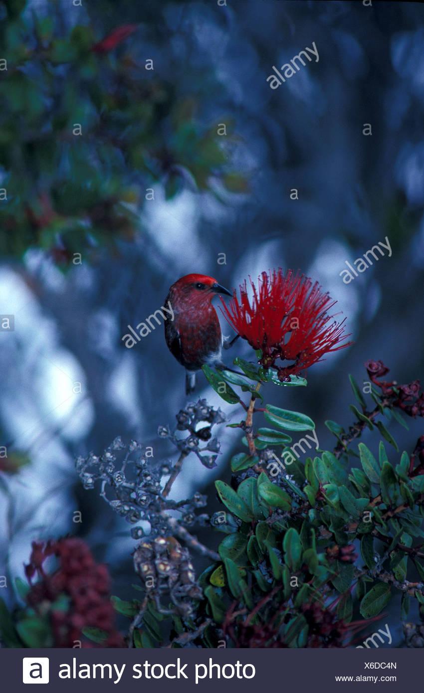 Native Bird Of Big Island That Feeds On Ohia Tree