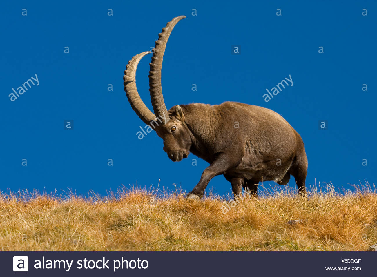 alpine ibex (Capra ibex), mighty male walking over a grass-grown hill ridge in front of a clear blue sky, Switzerland, Sankt Gallen, Alpstein, Saentis - Stock Image