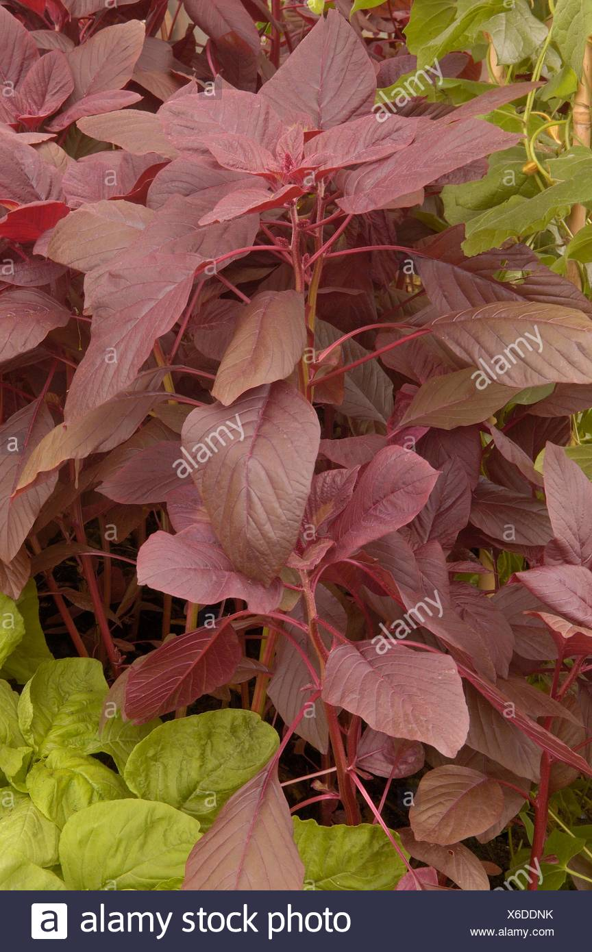 Spinach - Chinese- 'Garnet Red'- - (Amaranthus gangeticus)   MIW250080  /Phot - Stock Image