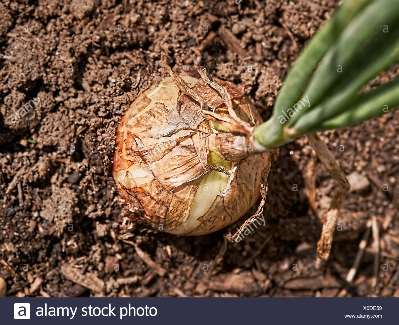 Onion ready for harvest. - Stock Image