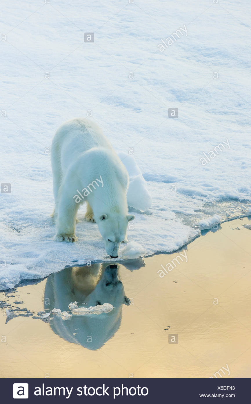 Self image. A polar bear sees its reflection in sea water, from the edge of an ice floe. - Stock Image
