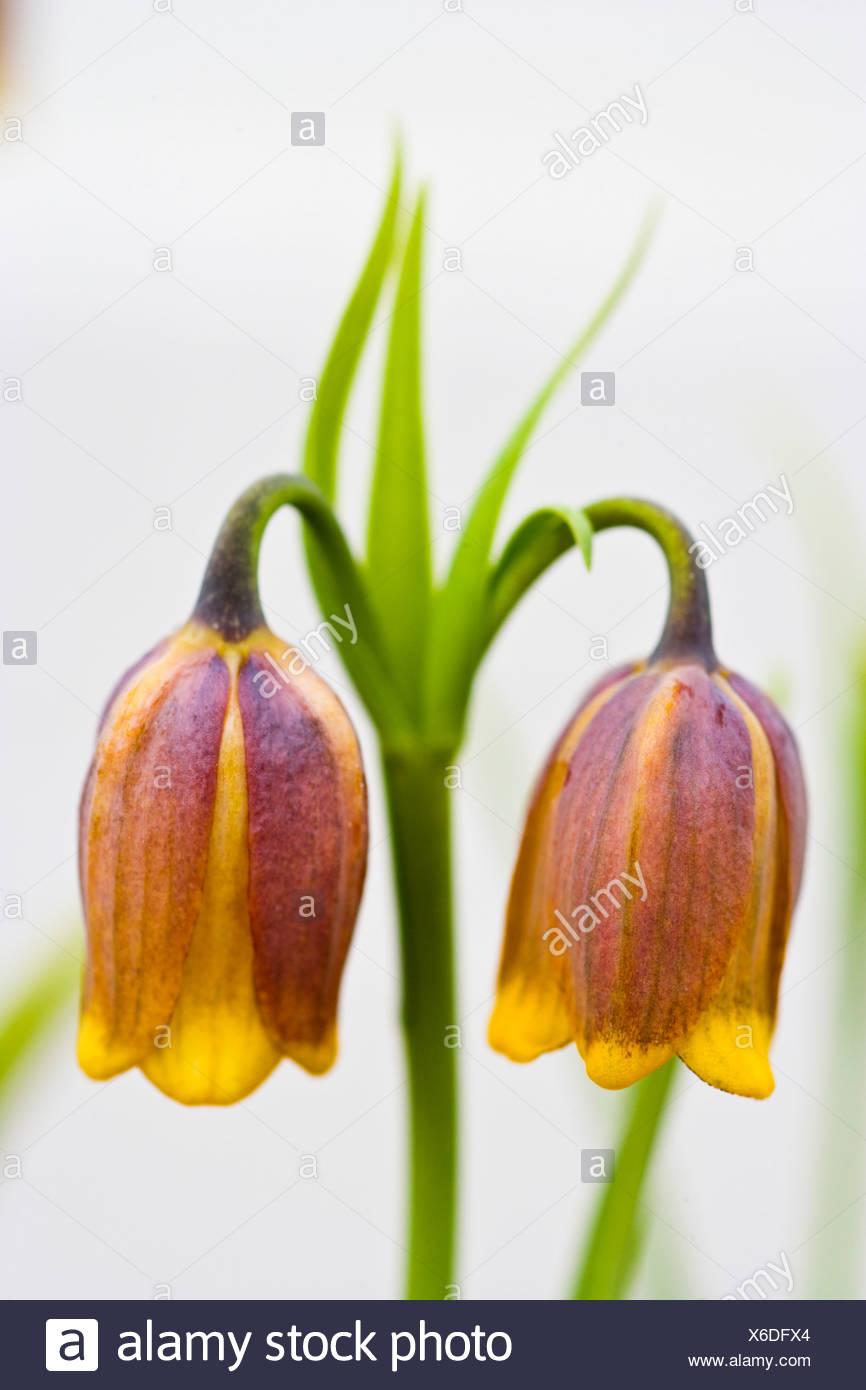 Fritillaria uva-vulpis - Stock Image