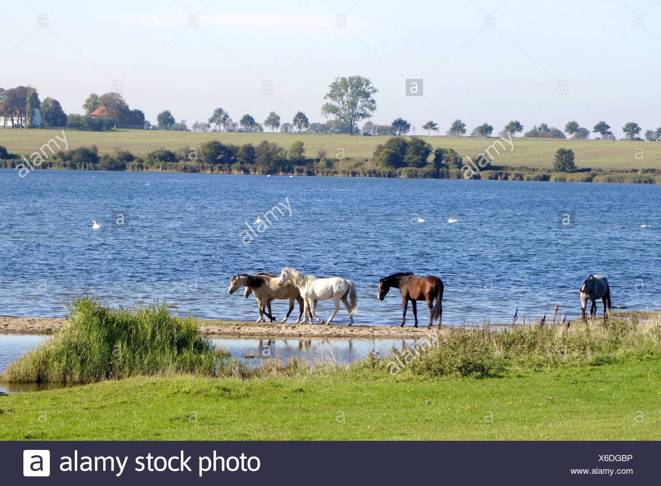 horses in the Bay of Wismar,germany - Stock Image