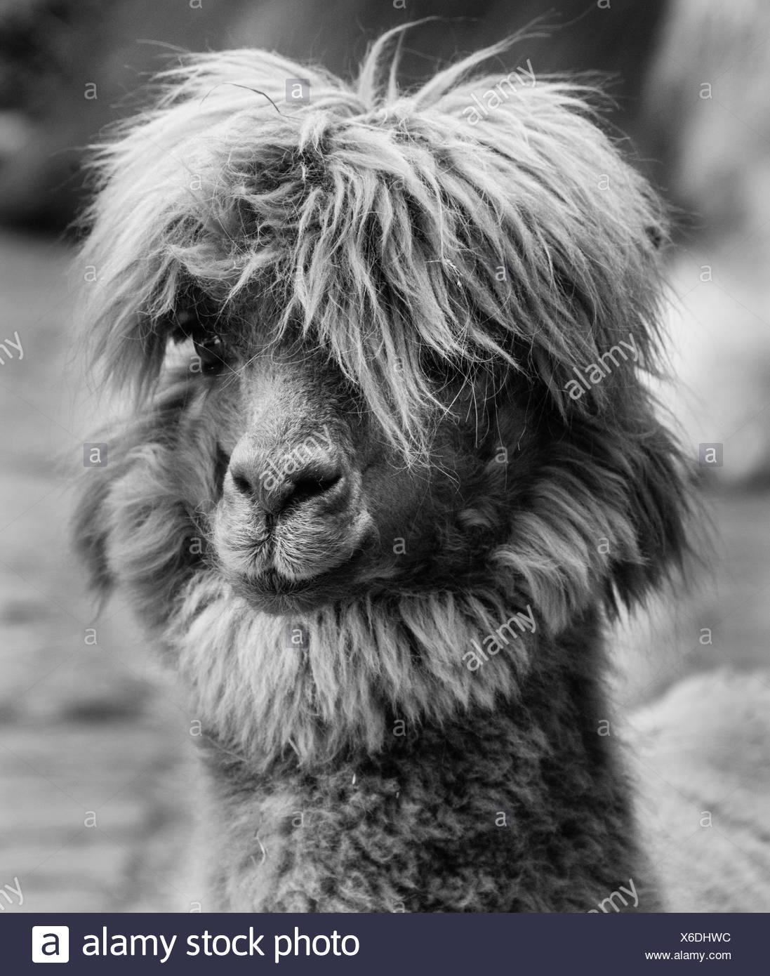 Llama (Lama glama), animal portrait, black and white - Stock Image